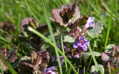 Creeping Charlie (ground ivy, Glechoma hederacea)