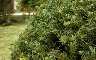 Yew shrubs: Toxic taxus, poisonous plants?