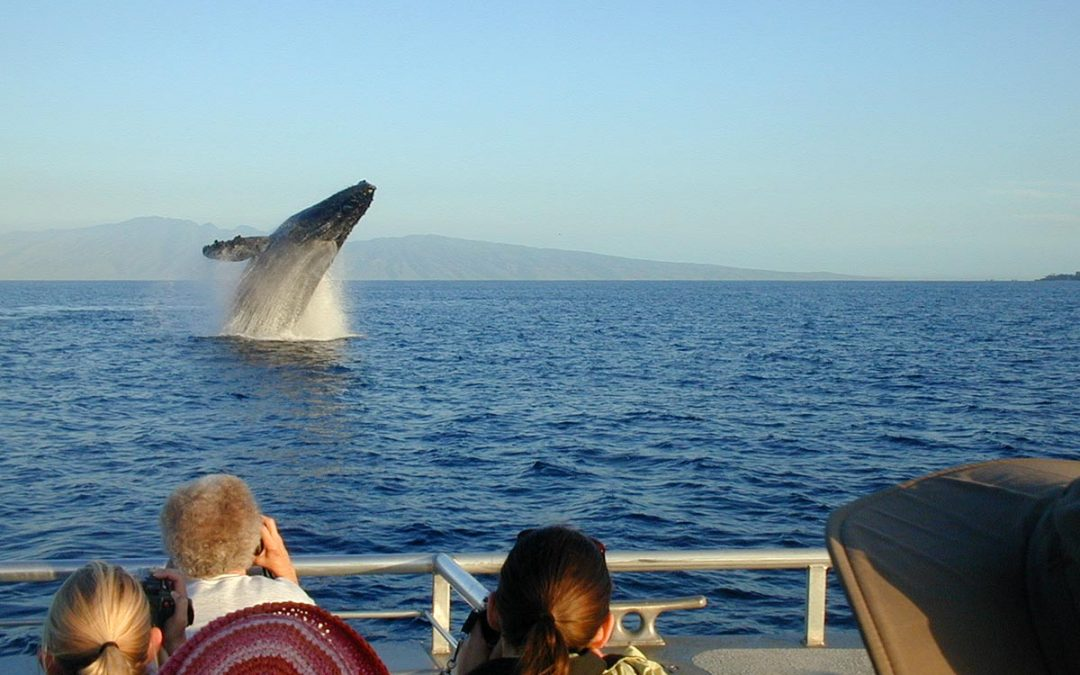 Humpback whale breaching off Maui during a whalewatching tour