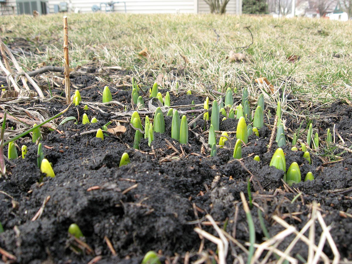 Daffodils sprouting in Wisconsin in mid-February