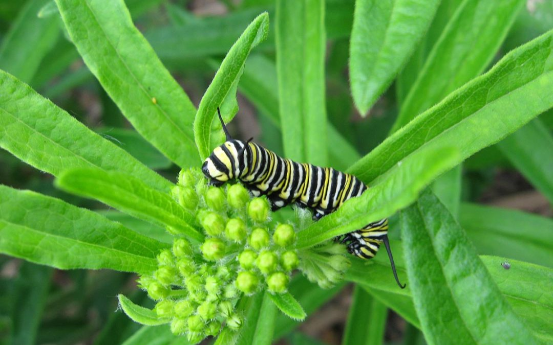 Monarch butterfly caterpillar (Danaus plexippus) feeds on Butterfly Weed (Asclepias tuberosa)