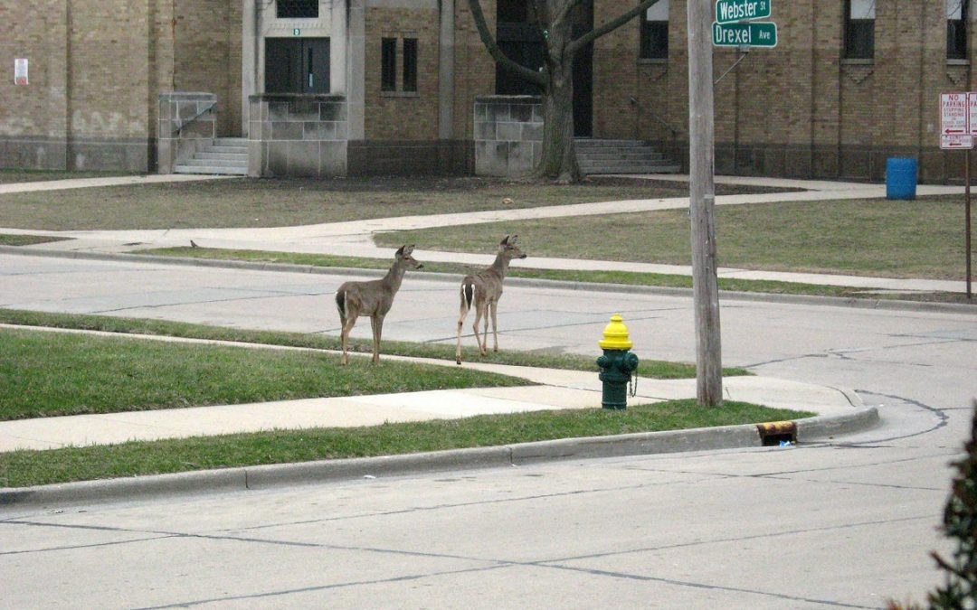 White-tailed deer at Mitchell School, Racine, Wisconsin
